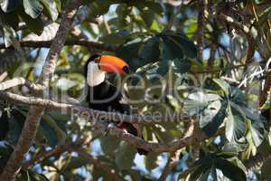 Toco toucan on branch with head turned