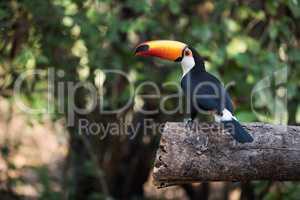 Toco toucan in profile on sawn log