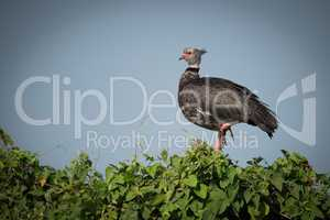 Southern screamer perched on bush in profile