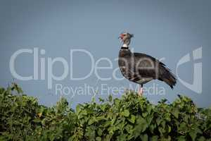 Southern screamer perched in profile on bush