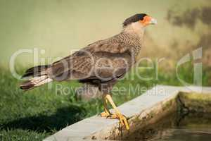 Southern crested caracara perched by water trough