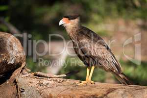 Southern crested caracara on log in sunshine