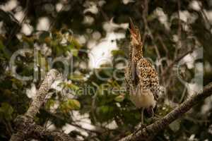 Rufescent tiger heron squawking with beak open