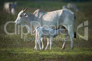 Khillari cow nursing calf in grassy field