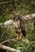 Juvenile savanna hawk on branch facing right