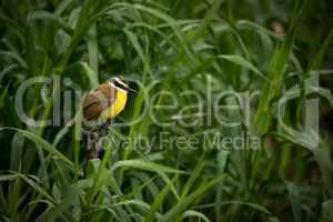 Great kiskadee among talll reeds looking right