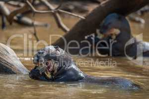 Giant river otters eating fish in river
