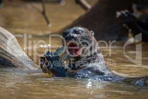 Giant river otter biting fish in river