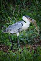 Cocoi heron walking with fish in beak