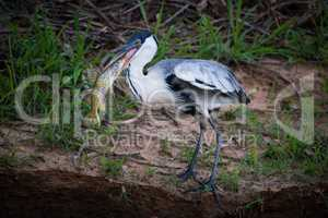 Cocoi heron standing with fish in beak