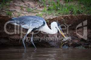 Cocoi heron picking up fish with beak