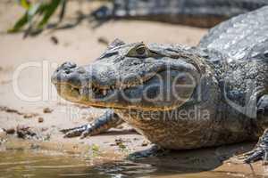 Close-up of yacare caiman on muddy shore