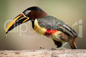 Chestnut-eared aracari perched on log in profile