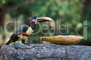 Chestnut-eared aracari on log with papaya half