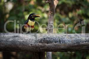Chestnut-eared aracari on horizontal log in shade