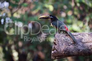 Chestnut-eared aracari in profile perched on log