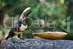 Chestnut-eared aracari eating papaya with open beak