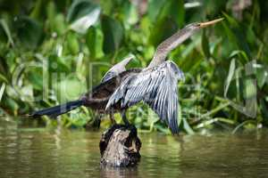 Anhinga spreading wings on rock by reeds