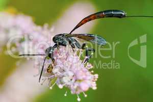 Gasteruptiidae wasp  on flowering tamarisk