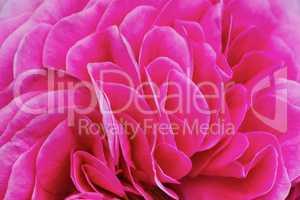 Petals pink tea rose