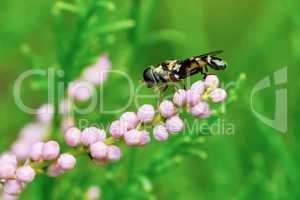 Fly hoverflies on flowering tamarisk