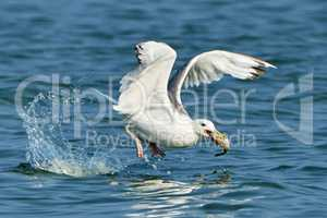 White gull with fish in its beak