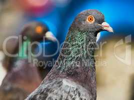Portrait of a pigeon