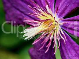 Closeup purple clematis flower