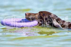 Brown Labrador swimming in the sea