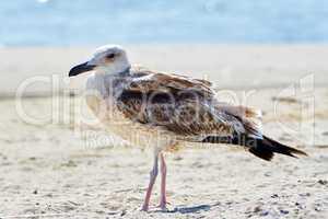 Pretty common gull