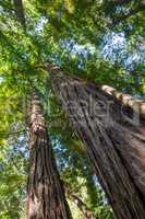 Küstenmammutbäume (Sequoia sempervirens)