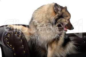 Wolfsspitz Hund auf einem braunen Chippendal Sofa