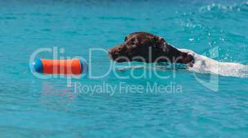 German shorthaired pointer swims