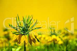 Crown imperial yellow flower
