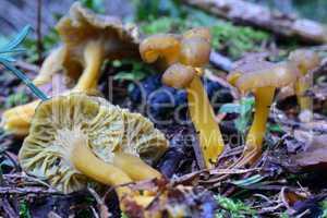 Yellow foot mushrooms in natural habitat