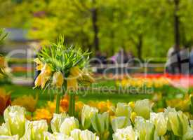 Crown imperial yellow flower in a bed of tulips