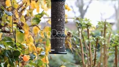 bird green finch, winter, feeding sunflower seeds