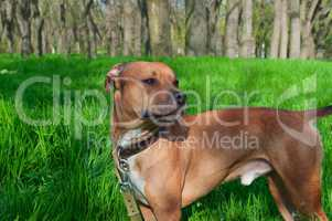 American Pit bull standing in the middle of green grass