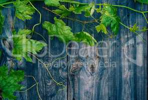 Young green grape vine on gray wooden surface