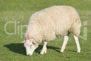 Sheep on a dike .