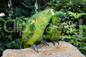 Loving domestic parrots kissing each other