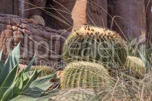 Cactus after its flower period