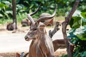 Kudu antelope from Africa