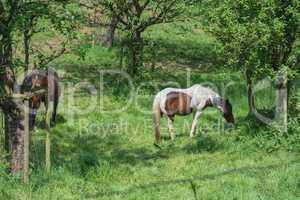 Braun weißes Pferd auf einer Weide