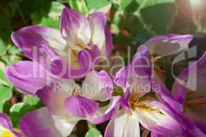 bush of purple crocuses