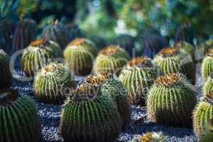 Cactus in desert .