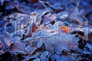 Oak leaves in winter