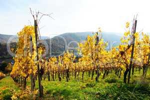 gelber Weinerg bei Kröv..