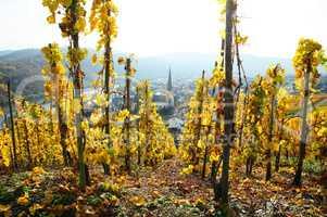gelber Weinerg bei Kröv