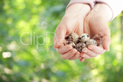 Hands holding quail eggs on a nature background
